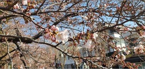 코로나19에도 봄은 성큼…진해 여좌천·하동 쌍계사 벚꽃 개화