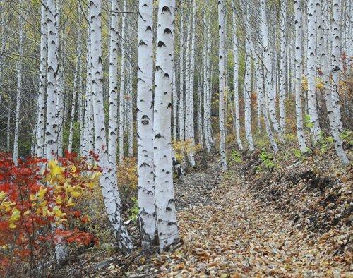 영양 자작나무숲 중심되는 산림 관광지 조성 추진