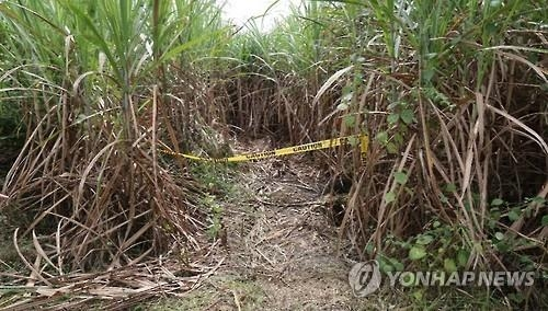 This photo provided by the National Police Agency on Nov. 18, 2016, shows a sugar cane field in Bacolor, the Philippines, where three South Koreans were found shot to death on Oct. 11. (Yonhap)