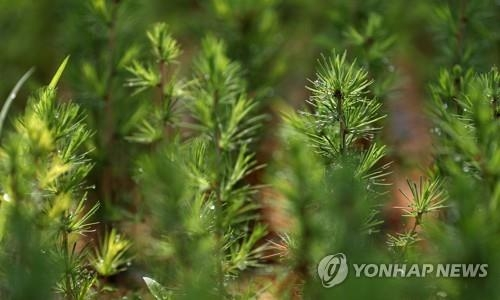 This file photo shows pine tree seedlings in a tree nursery near the border with North Korea. (Yonhap)