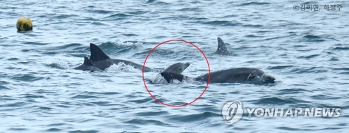 An Indo-Pacific bottlenose dolphin, Boksoon, swims with her calf (in red circle) in waters off Seogwipo on South Korea's largest island of Jeju on Aug. 20, 2018, in this photo released by a team of South Korean and Japanese researchers. (Yonhap)