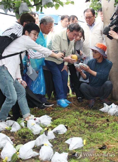 Prime Minister Lee Nak-yon (2nd from R, front) looks at a fallen pear as he visits an orchard in Anseong, south of Seoul, on Sept. 9, 2019, to assess the damage inflicted by Typhoon Lingling. (Yonhap)