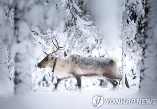 핀란드의 환상적인 설경과 신비로운 분위기를 자아내는 숲속의 사슴. 연합DB