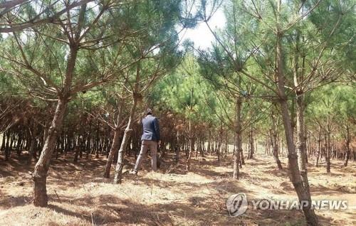 보은군이 재배하는 정이품송 자목들