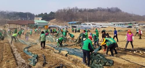 비닐 걷어내고 있는 제천시 새마을회 회원들