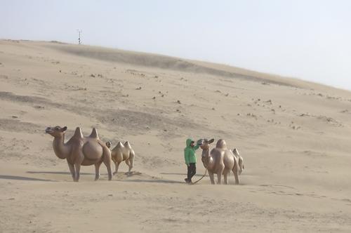 낙타가 있는 옥죽동 사막 [사진/성연재기자]