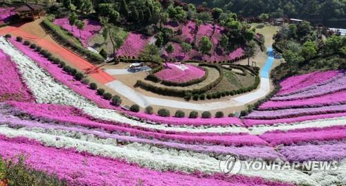 화사한 봄빛으로 물든 진안 꽃잔디 동산