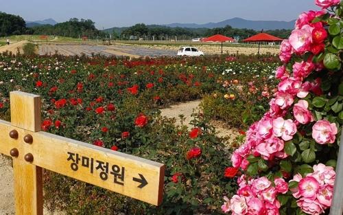 양주 나리농원에 만개한 '장미'