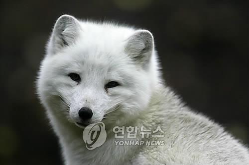 북극여우[연합뉴스 자료사진]