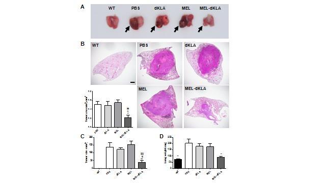 폐암 유발 쥐는 폐부에 종양 덩어리가 빠르게 증식하는 반면, MEL-dKLA를 투여한 쥐는 종양의 크기와 면적이 유의하게 감소했다. 다만, 멜리틴이나 dKLA 단독투여는 항암작용이 없었다. 사진 A는 전체 폐의 모습을, B는 오른쪽 폐를 절개했을 때 조직 내 암세포 증식을 보여준다. [논문 발췌]