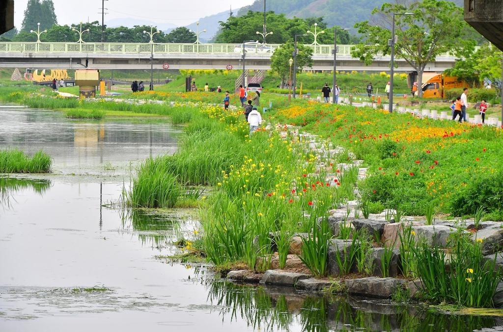 황룡강변 노란꽃창포 단지