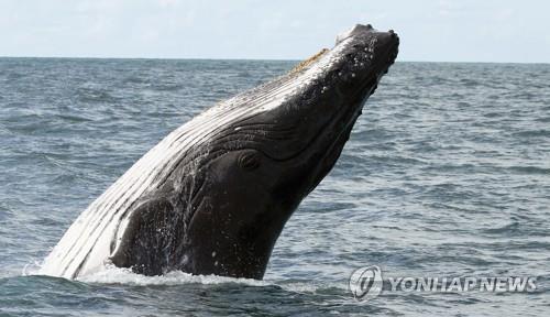 혹등고래 자료사진