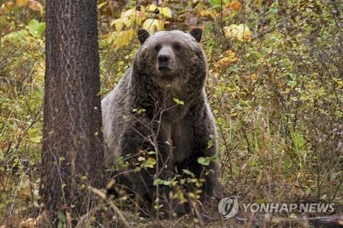 미국 몬태나주 인근에서 카메라에 잡힌 회색곰. 사진은 기사 내용과 직접 연관이 없음. [AP=연합뉴스 자료사진]