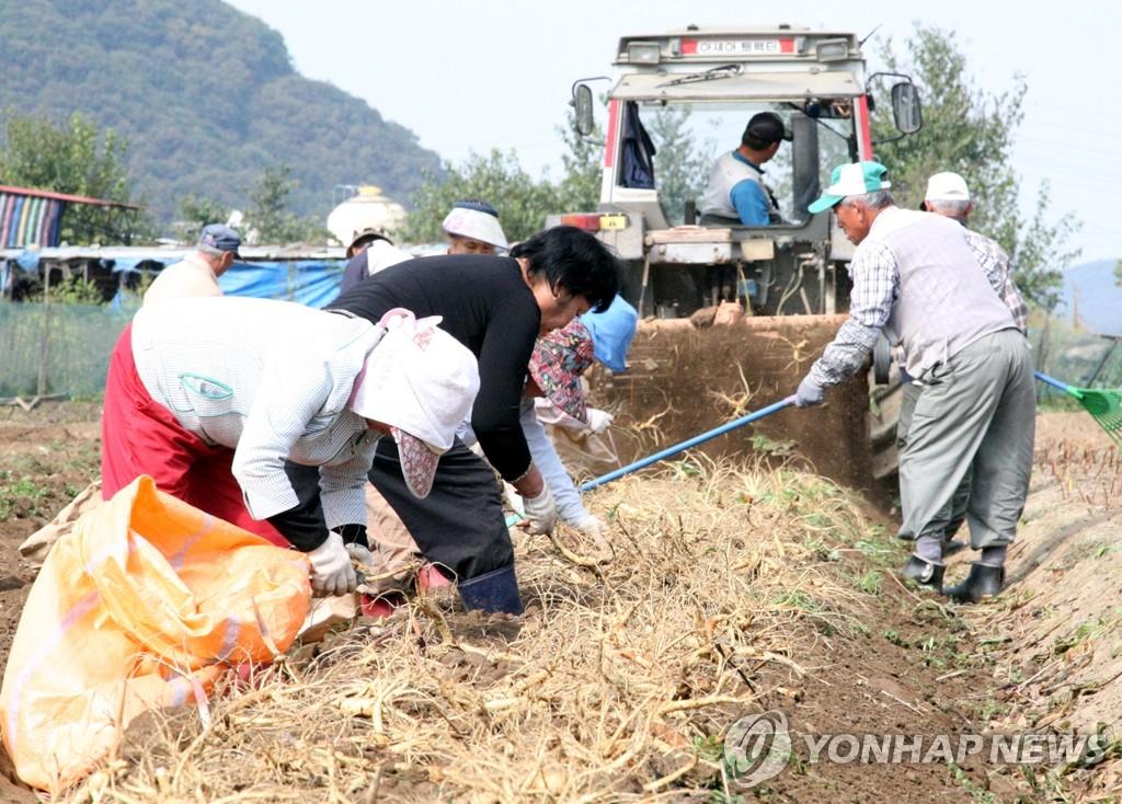 개성인삼 수확 한창 [연합뉴스 자료사진]