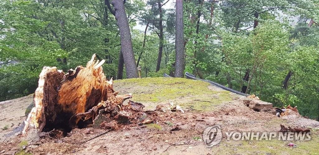 태풍 '링링'에 부러진 합천 해인사 학사대 전나무