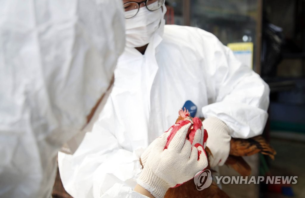 In this photo provided by a Gwangju district office, quarantine officials inspect a chicken over avian influenza at a farm in Gwangju on Oct. 21, 2019. (PHOTO NOT FOR SALE) (Yonhap)