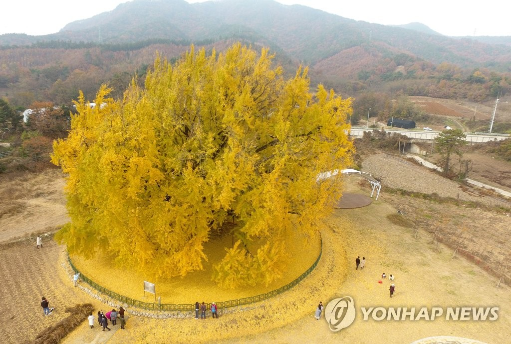 Giant ginkgo turns yellow