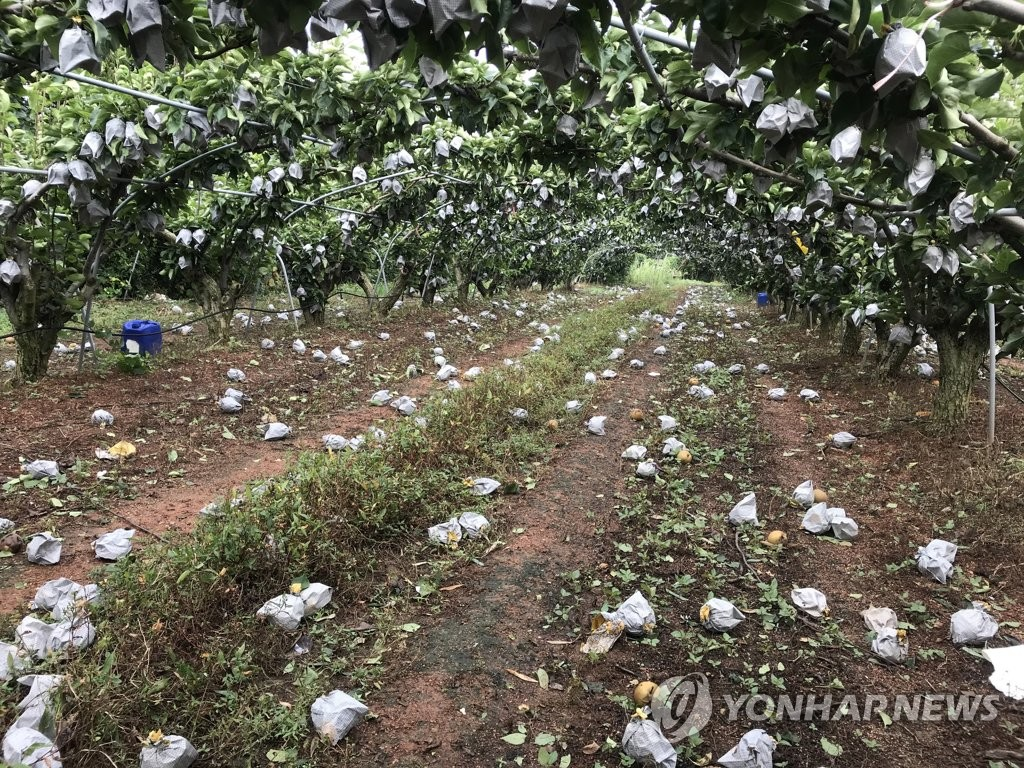 This photo, provided by Sinan County in South Jeolla Province, shows pears scattered on the ground at an orchard on Aug. 27, 2020. (PHOTO NOT FOR SALE) (Yonhap)