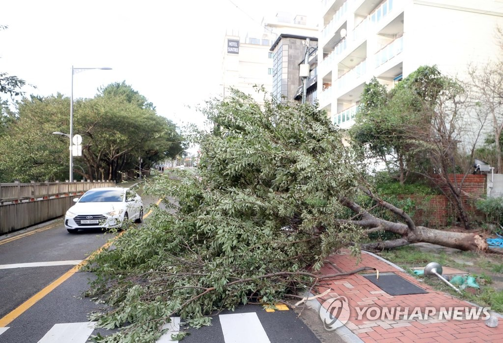 An uprooted tree blocks a road in the southeastern port city of Busan on Sept. 3, 2020 (Yonhap)