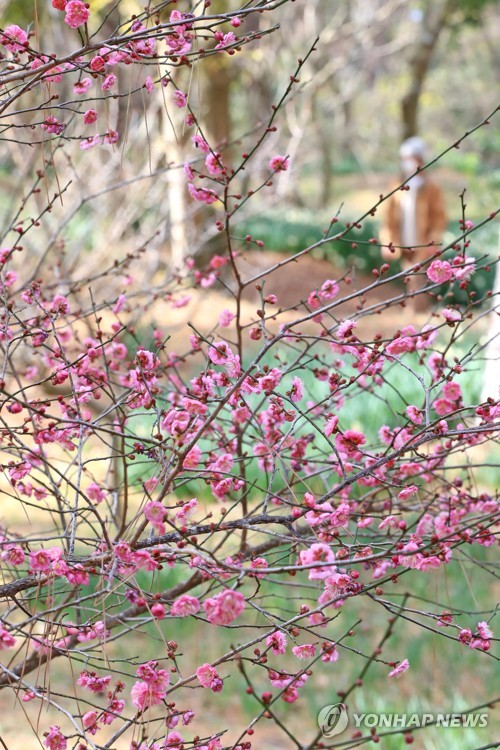 Plum tree flowers in bloom