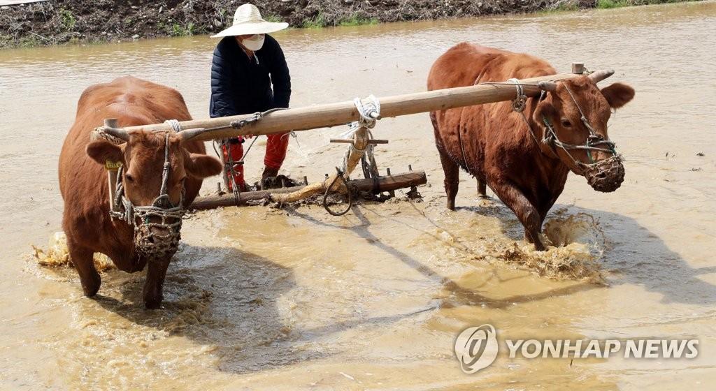 '이랴~' 홍천서 겨릿소 시연